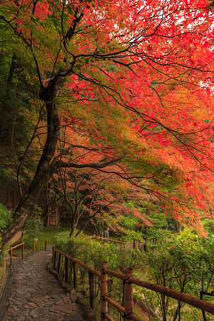 japanese maples: Autumn Japanese garden with maple in Kyoto,Japan
