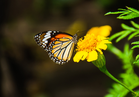 Beautiful butterfly sucking nectar from a bright yellow flowers stamens. On the morning of the day with good weather.