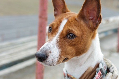 alarmed: Basenji dog portrait outdoors. Alarmed by opinion. Close-up Stock Photo