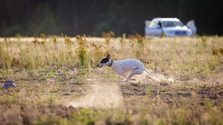 greyhound: Coursing. White whippet dog pursues bait. Summer sunny evening
