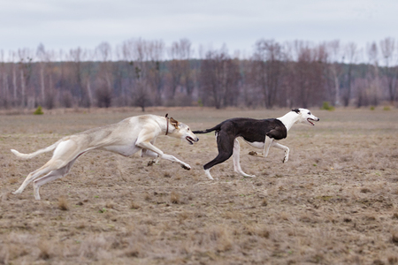 spring training: Training for coursing. Greyhound Race and Russian Hort. Clear, early spring