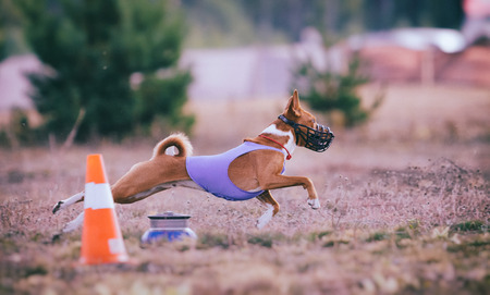running nose: Dog Runs in the field of mechanical lure. Basenji dog runs across the field. At the dog wearing a muzzle and a T-shirt Stock Photo