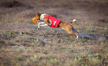 Dog Runs in the field of mechanical lure. Basenji dog runs across the field. At the dog wearing a muzzle and a T-shirt Stock Photo