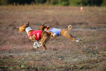 running nose: Dogs Runs in the field of mechanical lure. Basenji dogs runs across the field. At the dog wearing a muzzle and a T-shirt