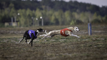 Whippet dog running. Coursing training. Dog running on the field. Sunny summer day
