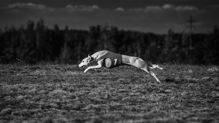 running nose: Whippet dog running. Coursing training. Dog running on the field. Sunny summer day