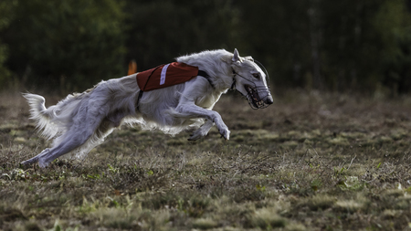 running nose: Coursing. The Race of Russkaya psovaya borzaya. Training in the field. Sunny day Stock Photo