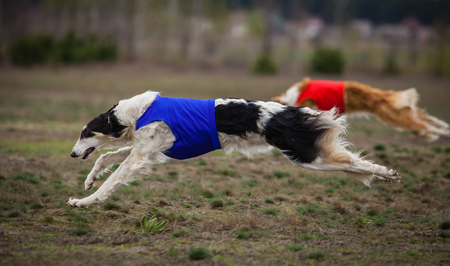 Coursing. The Race of Russkaya psovaya borzaya. Training in the field. Sunny day Stock Photo