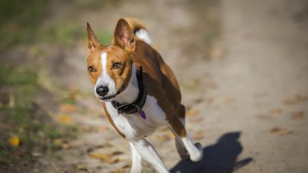 Basenji dog walking in the park. Sunny autumn day