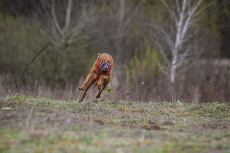 Coursing, Dogs Runs in the field of mechanical lure. Pharaoh dogs runs across the field