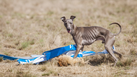 Coursing training. Dog Italian Greyhound at the finish caught a bait. In the bait the fox skin Stock Photo