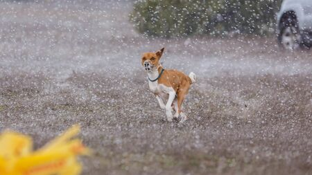 Dogs Runs in the field of mechanical lure. Basenji dogs runs across the field