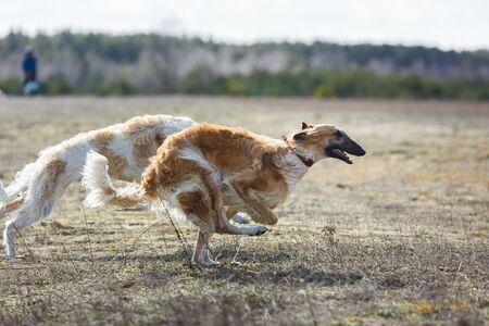 Coursing. The Race of Russkaya psovaya borzaya. Training in the field. Sunny day Archivio Fotografico