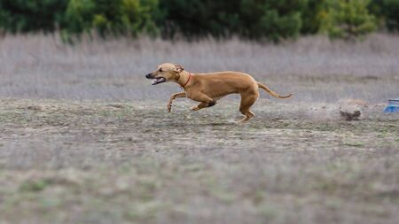 Coursing. Whippet dog running in the field