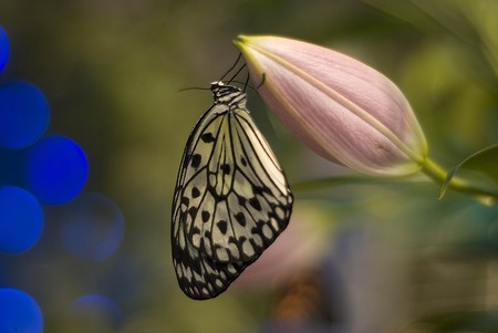 Beatiful butterfly is sitting on the button of lily photo