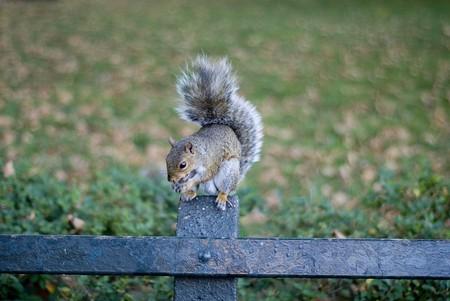 munching: Munching squirrel in New York city Stock Photo