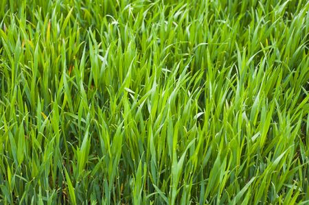 Green grass texture, can be used as a background Stockfoto