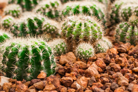 Close up of cactus tree,cactus in desert,cactus on rock,background or wallpaper