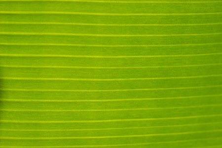 Horizontal stripes on a green banana palm leaf background