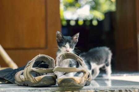 Little cute black and white kitten sitting in a sandal and falls asleep. And his sister catches the tail from behind.
