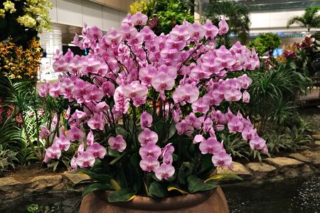 Many flowers orchids violet pink in one pot standing in the water on the background of other greenery inside the building as a decoration. The concept of landscaping inside buildings. Reklamní fotografie