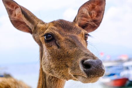 The head of a young deer without horns with boats and the ocean in the background. Brown deer. Focus on the nose and the background is blurred.