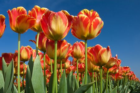 Beautiful tulips from the Netherlands