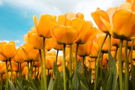 Beautiful yellow tulips from the Netherlands Stock Photo
