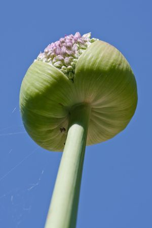 Allium reaching towards the sky photo
