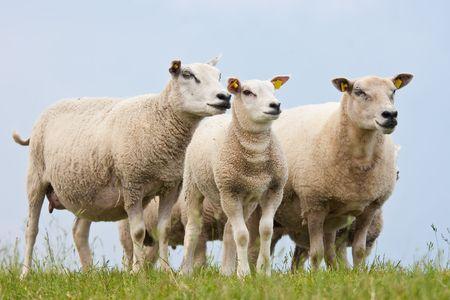 Curious sheep Stock Photo - 5113570