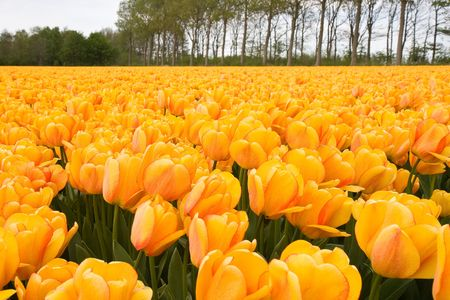 nederland: Field of yellow tulips in the Netherlands Stock Photo