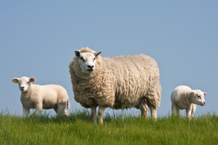 naivety: Sheep with lambs Stock Photo