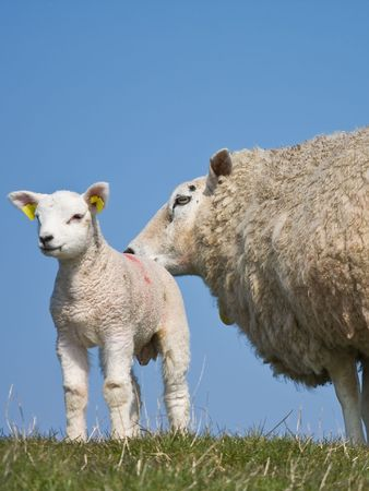 Sheep with her lamb