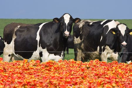 Dutch flowers and cows (Focus at cows) photo