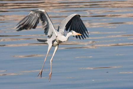 brak: Flying heron
