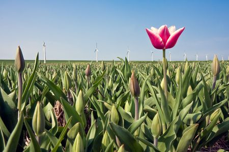 Eerste tulp in onvolgroeide veld