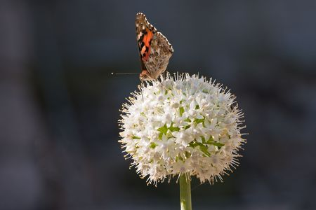 Painted lady butterfly  on a white allium showing its long tongue. photo