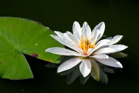 Close-up of a beautiful waterlily Stock Photo - 5284024