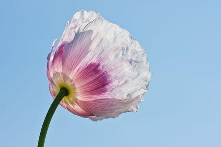 poppy seeds: Transparent white poppy facing the sky in Czech