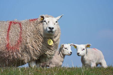 Ovejas con sus corderos, por primera vez en los campos, los Pa�ses Bajos  Foto de archivo - 5451615
