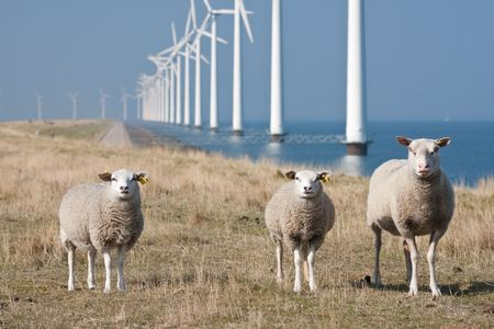 Curious sheep grazing at the dike with a long row of windmills in the sea photo