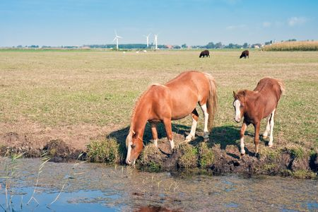 Drinking horse with her foal in the wide meadows of the Netherlands photo