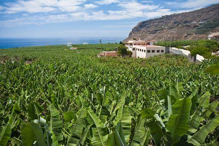 Enorme bananen plantage op La Palma, Canarische eilanden Stockfoto