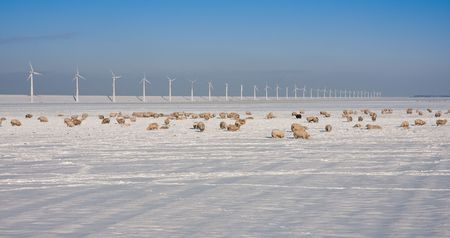 Sheep in the wide fields in wintertime in the Netherlands photo
