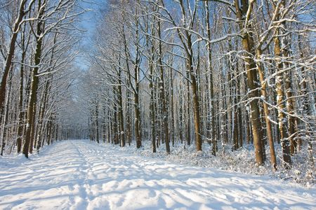 Winter forest in the Netherlands, trees covered by snow Stock Photo - 6123207