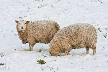 Sheep in Dutch wintertime, searching for grass under the snow photo