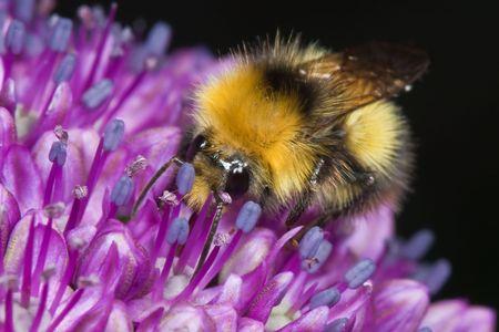 symbiotic: Honeybee feeding at purple allium
