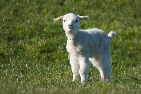 Cute young lamb in the pasture at springtime photo