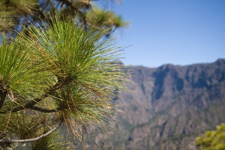 Pine tree at border of Caldera de Taburiente, La Palma, Canary Islands Stock Photo - 6981602
