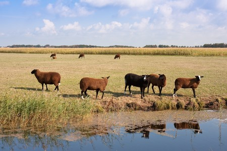 Herd of brown sheep in the wide dutch meadow photo